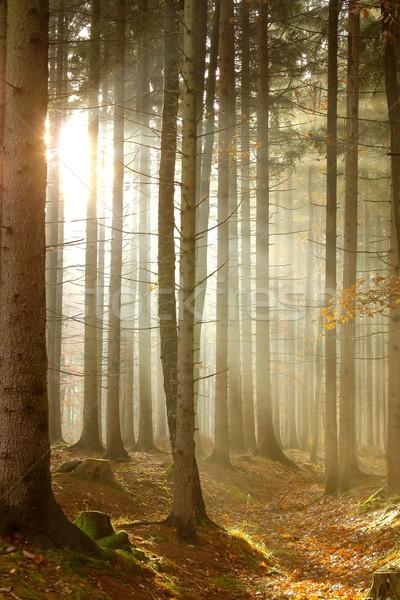 Tűlevelű erdő napsütés napfény ködös ősz Stock fotó © nature78