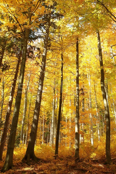 Autumnal forest Stock photo © nature78