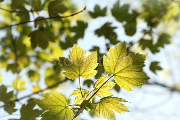 Stock photo: Spring leaves on a tree branch