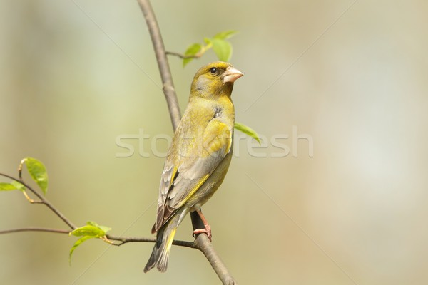 Male Greenfinch Stock photo © nature78