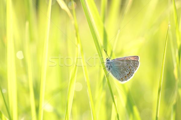 Közelkép pillangó tavasz legelő szem fű Stock fotó © nature78