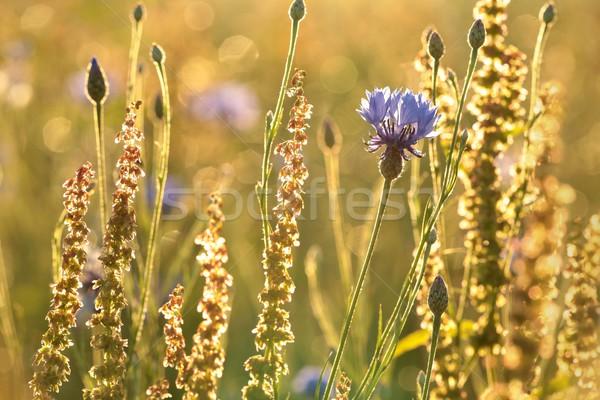 василек сумерки области закат фон лет Сток-фото © nature78