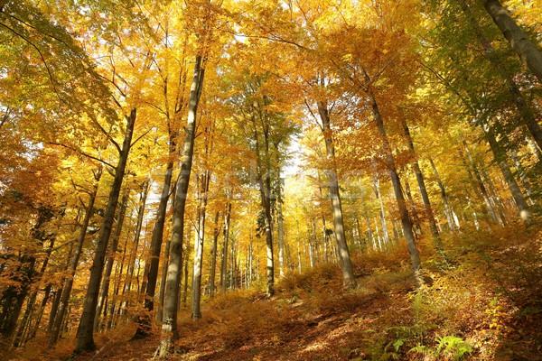 Autumn beech forest Stock photo © nature78