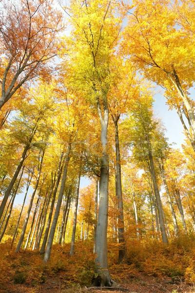 осень деревья Солнечный небе пейзаж оранжевый Сток-фото © nature78