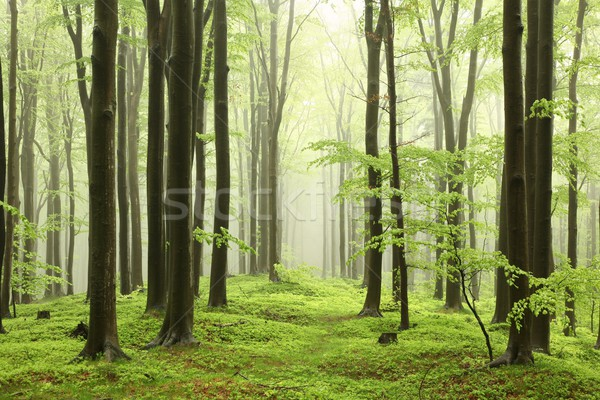 Spring beech forest Stock photo © nature78