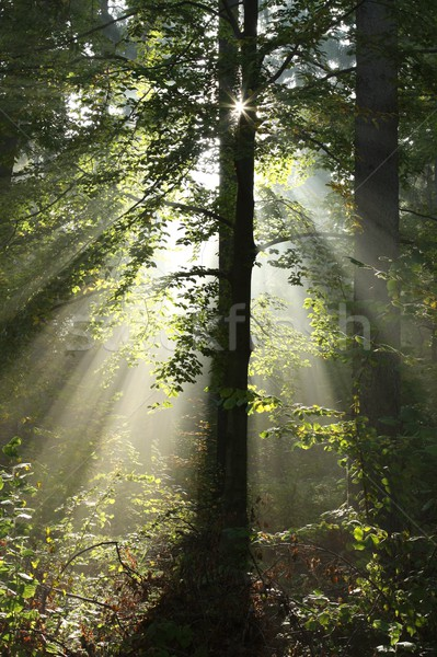 Sun backlit trees in a misty forest Stock photo © nature78