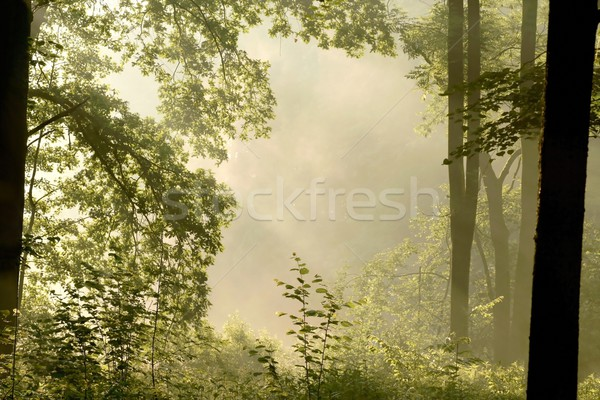 Spring deciduous forest at dawn Stock photo © nature78