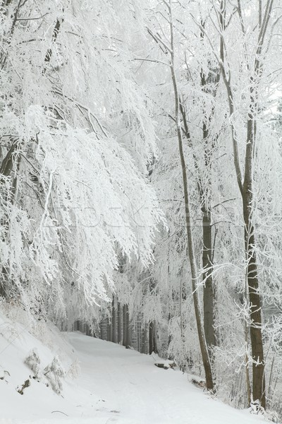 Сток-фото: лес · тропе · зима · декораций · заморожены · деревья