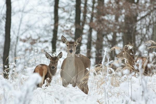 Ikra szarvas áll perem erdő fű Stock fotó © nature78