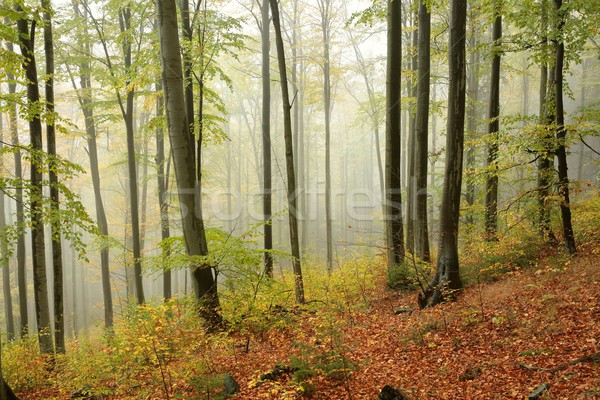 Autumn beech forest in the fog Stock photo © nature78
