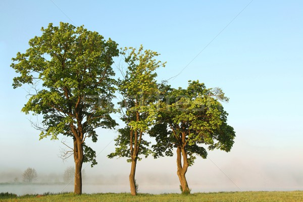 Spring maple trees at dawn Stock photo © nature78