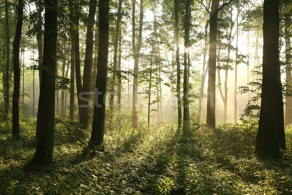 Sunrise in a misty forest Stock photo © nature78