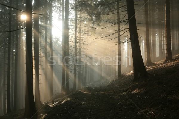 Path in coniferous forest at dawn Stock photo © nature78