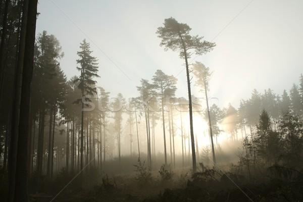 Stock fotó: Ködös · tűlevelű · erdő · hajnal · sűrű · köd