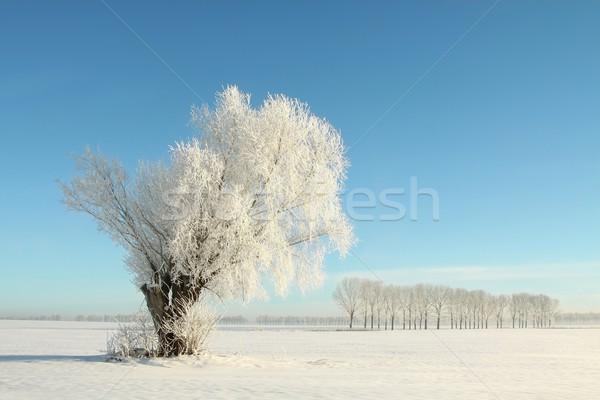 ива дерево покрытый мороз Blue Sky природы Сток-фото © nature78