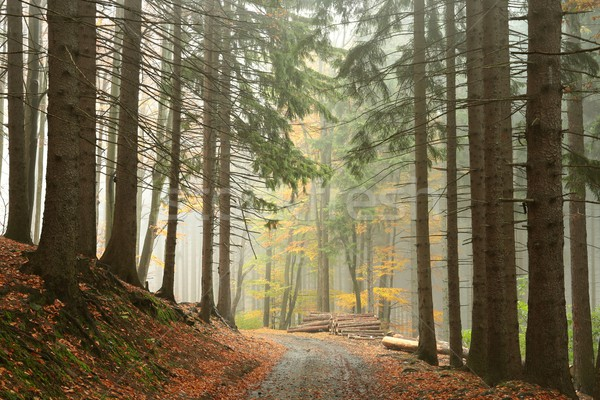 Path through coniferous forest Stock photo © nature78