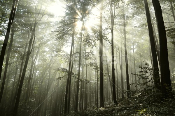 Beech forest in the sunshine Stock photo © nature78