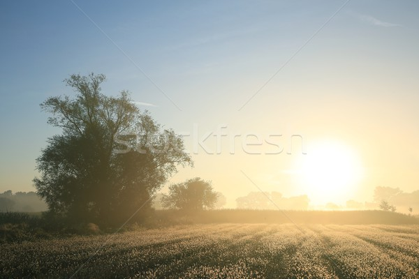 Willow tree at dawn Stock photo © nature78