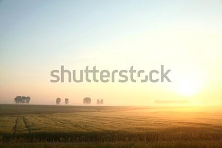Primavera paisagem madrugada milho campo nebuloso Foto stock © nature78