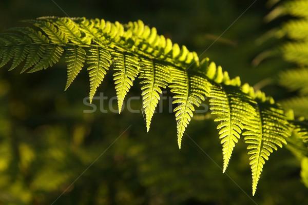 クローズアップ シダ 森林 午前 太陽 抽象的な ストックフォト © nature78