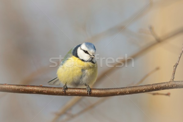 Blue tit on a twig Stock photo © nature78