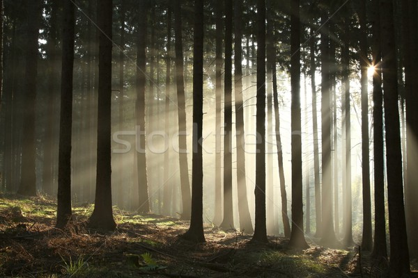 Stock fotó: ősz · tűlevelű · erdő · hajnal · napsugarak · ködös