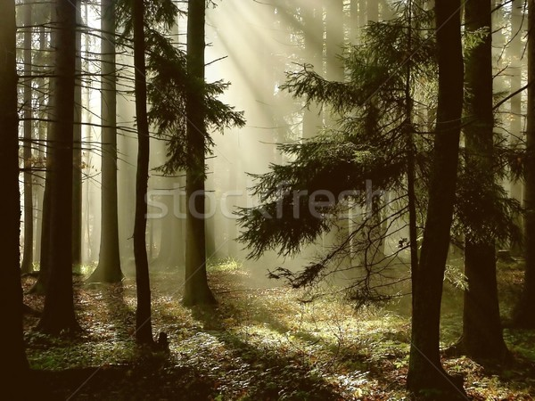 Autumn coniferous forest at dawn Stock photo © nature78