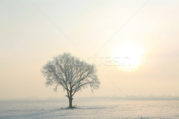 Chêne ensoleillée hiver matin ciel bleu arbre Photo stock © nature78