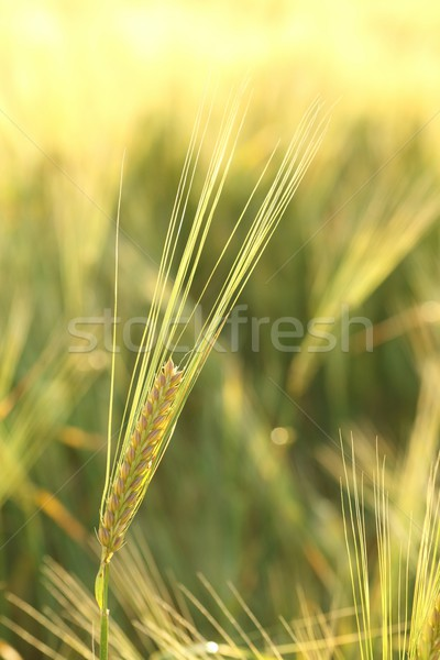 Ear of wheat Stock photo © nature78
