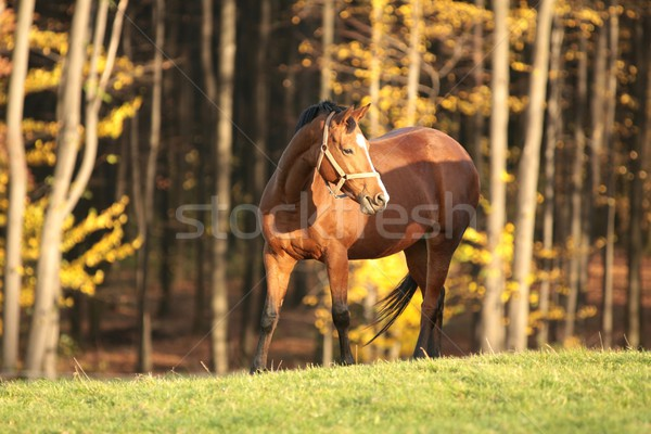 Caballo pradera otono árboles hierba paisaje Foto stock © nature78