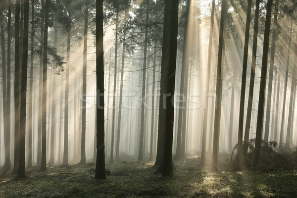 Sunbeams enter the misty coniferous forest Stock photo © nature78