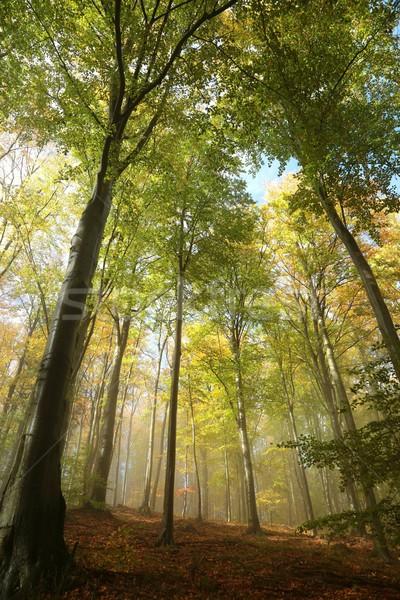 осень лес туманный Sunshine пейзаж деревья Сток-фото © nature78