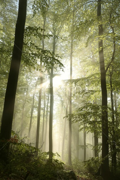 Autumn deciduous forest at dawn Stock photo © nature78