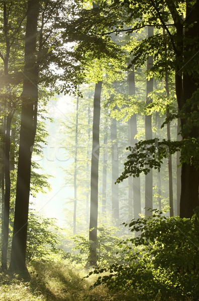 Misty deciduous forest at dawn Stock photo © nature78