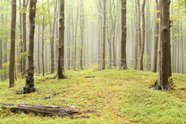 Misty spring beech forest Stock photo © nature78