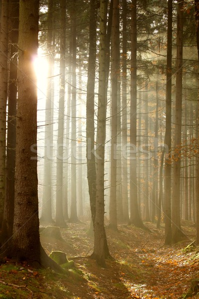 Coniferous forest in the sunshine Stock photo © nature78