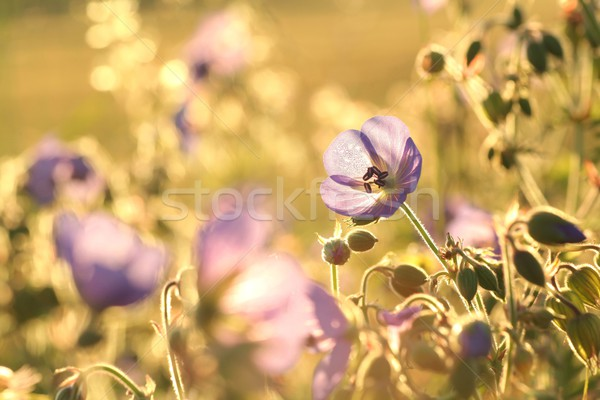 Geranium pratense at dawn Stock photo © nature78