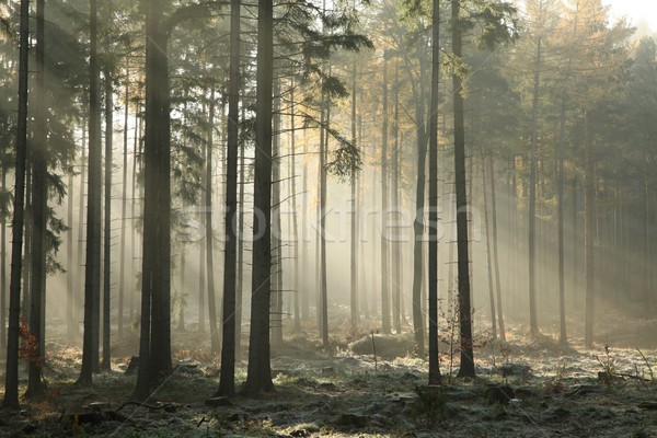 Misty coniferous forest at dawn Stock photo © nature78