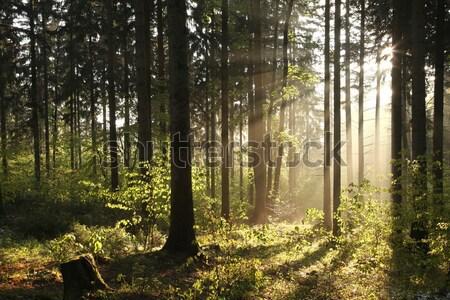 Sonbahar yaprak döken orman şafak puslu sonbahar Stok fotoğraf © nature78