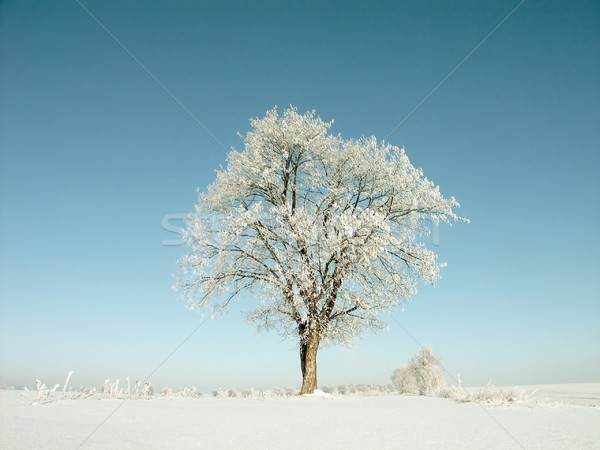 Winter tree against a blue sky Stock photo © nature78