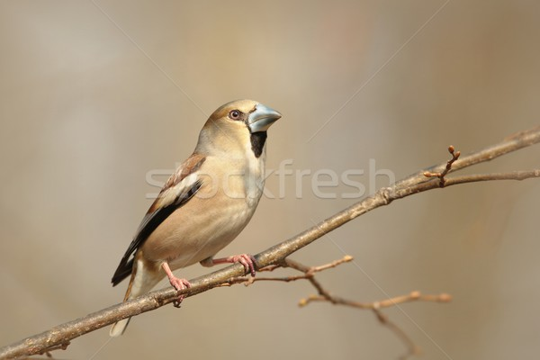 Female Hawfinch Stock photo © nature78