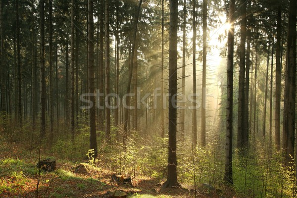 Coniferous forest on foggy morning Stock photo © nature78
