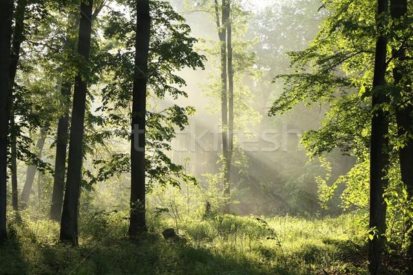 Bahar orman şafak yağış miktarı meşe ağaçlar Stok fotoğraf © nature78