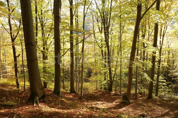 Beech forest in autumn colors Stock photo © nature78