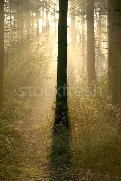 Stock photo: Autumn coniferous forest at dawn