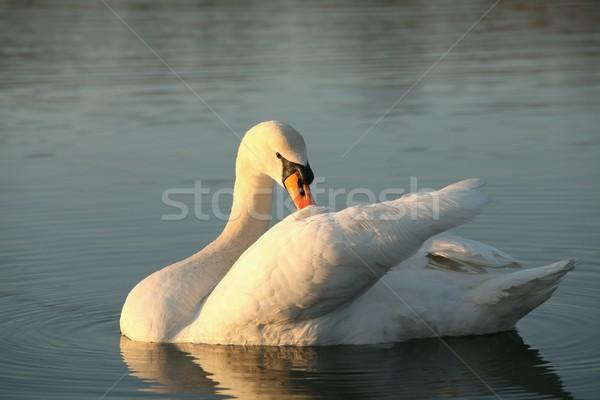 Hermosa cisne amanecer solitario iluminado Foto stock © nature78