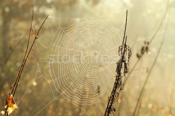 Cobweb in the morning Stock photo © nature78