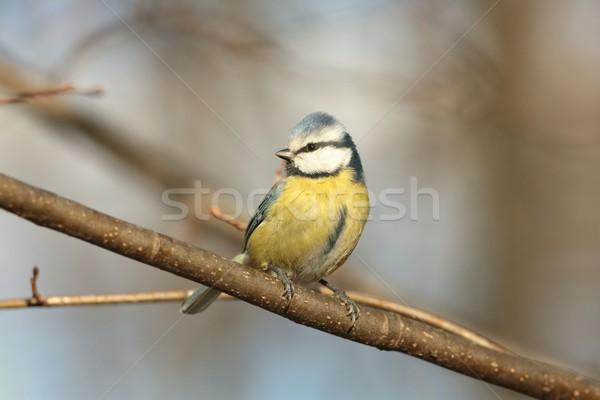 青 売り言葉 小枝 森林 空 木 ストックフォト © nature78