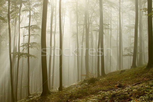 Misty autumn forest in the sunshine Stock photo © nature78