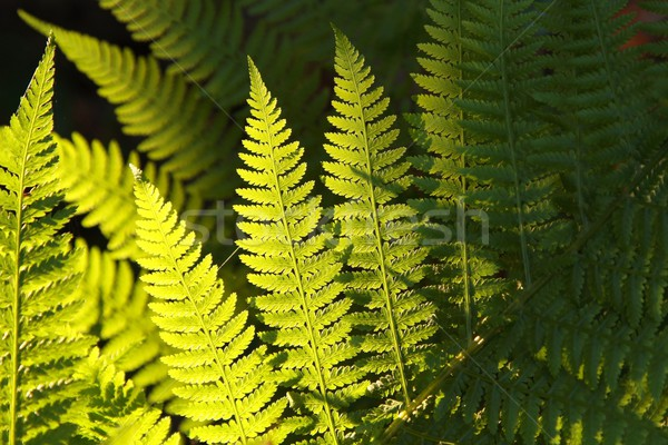Fougère forêt matin soleil résumé Photo stock © nature78